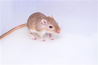 Mongolian Gerbil Desert Rat