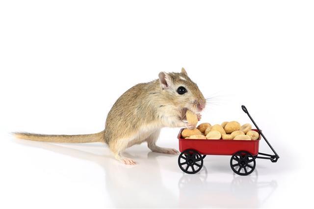Gerbil Eats A Peanut