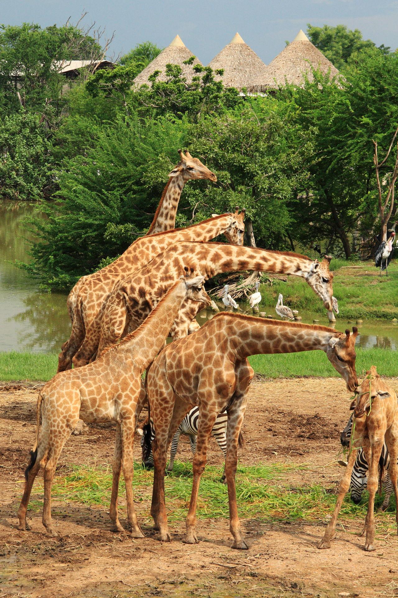 What Do Jaguars Eat >> Giraffe Habitat
