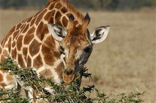 Wild Giraffe Eating