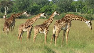 Masai Giraffe Savannah