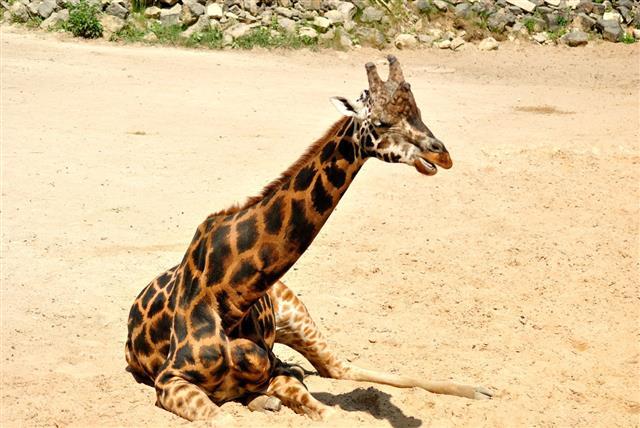 Giraffe Sitting Resting