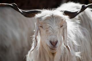 White Kashmir Goat