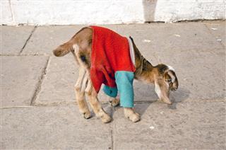 Goat On Street
