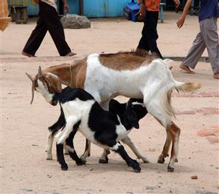 Goat Baby Feeding