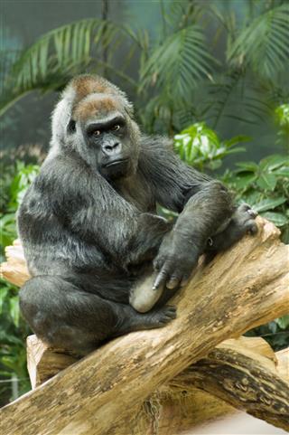 Endangered Western Lowland Gorilla