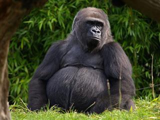 Western Lowland Gorilla Jersey