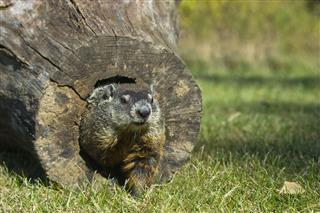 Groundhog Peeking Out Of Log