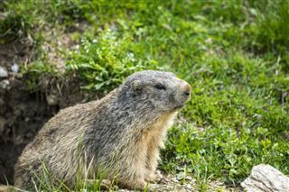 Groundhog Closeup
