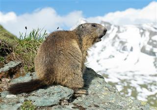 Alpine Marmot Standing