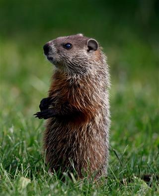 Groundhog Sitting