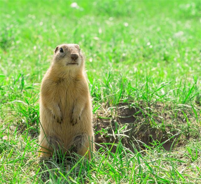 Gopher Standing Groundhog