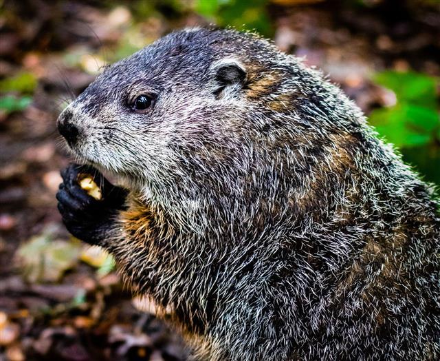 Groundhog Eating An Acorn