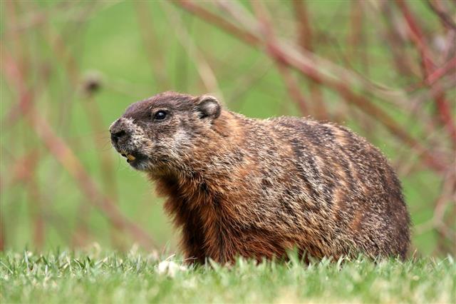 Groundhog Profile