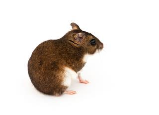 Eversmanns Hamster