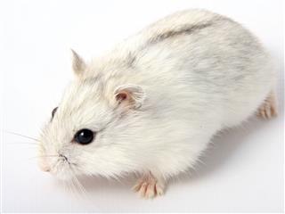 Hamster Russian