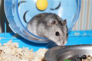 Gray Dwarf Hamster