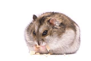 Dwarf Hamster Eat Pumpkin Seed