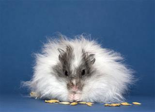 Hamster Eats Oats Grains