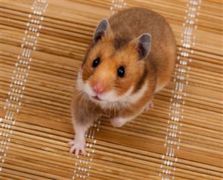 Golden Or Syrian Hamster
