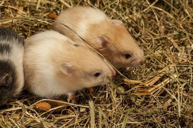Hamster Is Popular Pet