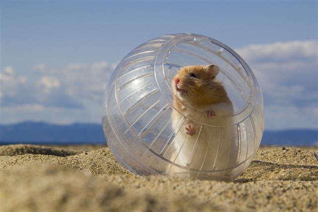 Hamster On Beach