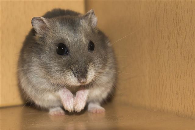 Hamster Prayer