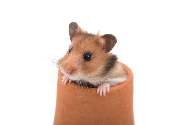 Hamster In Clay Pot