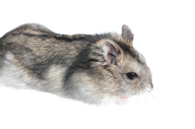 Hamster Sitting