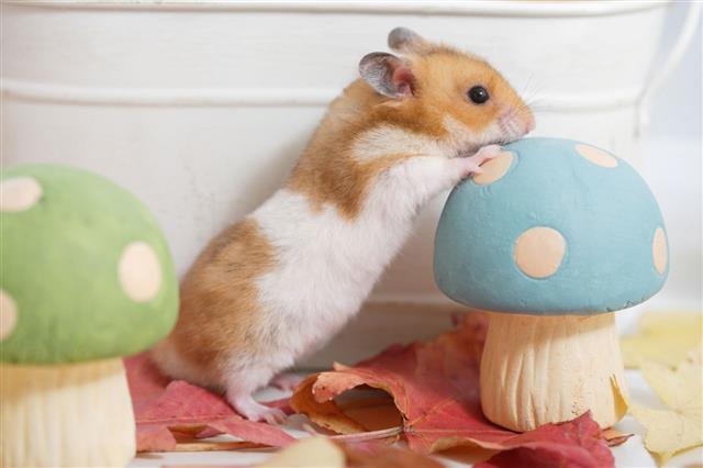 Hamster Fall