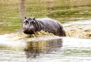Marauding Hippo Creating Waves