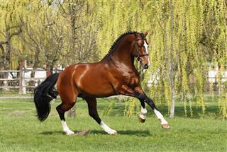 Holsteiner Stallion Galloping