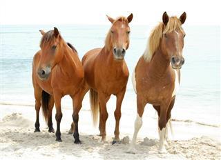 Three Wild Horses Dun Chestnut