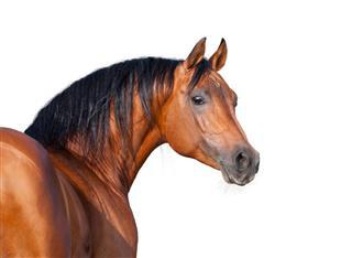 Chestnut Horse Head