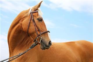 Head Shot Of A Chestnut Horse