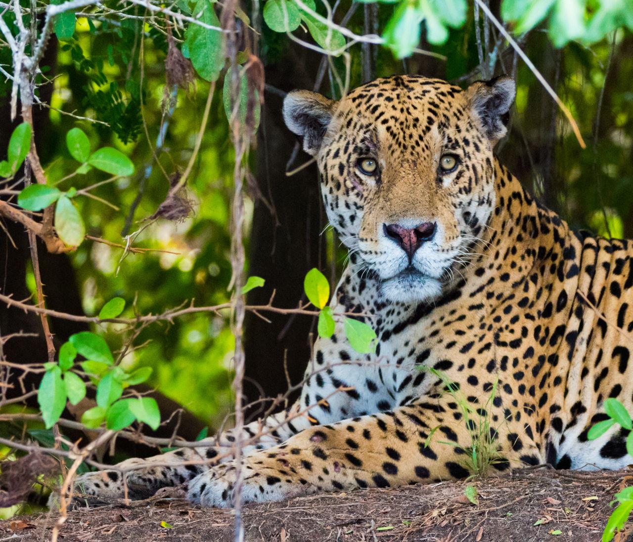Jaguar Adaptations