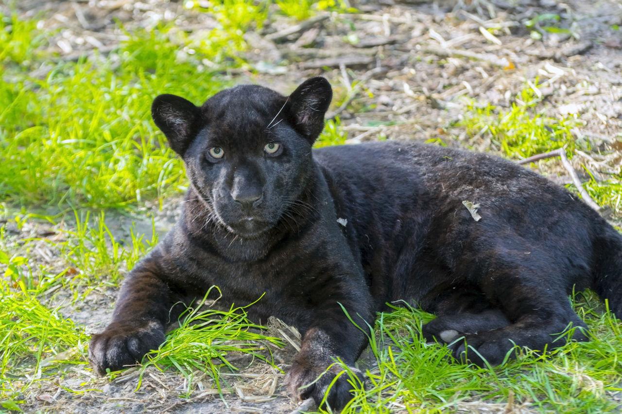Jaguar Adaptations - photo#26