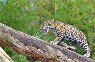Jaguar Cub Climbing