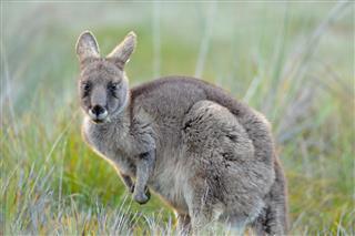 Eastern Gray Kangaroo Tasmania