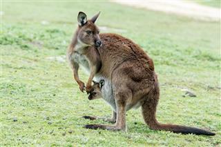 Kangaroos Family