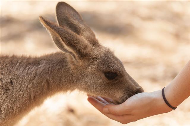Kangaroo Hand Feeding