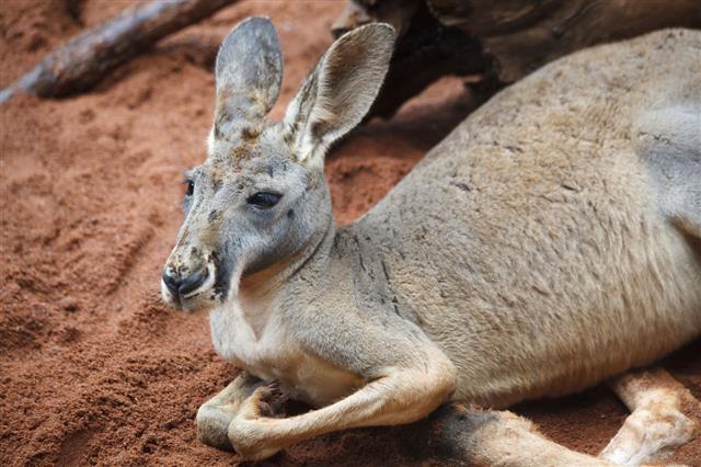 Australian Kangaroo Resting