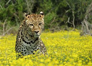 Leopard Sitting In Flowers