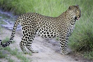 Cuddly Leopard