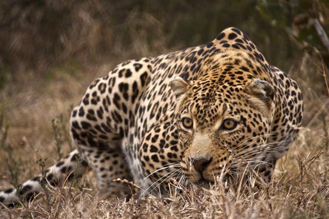 Crouching Leopard In Bushveld