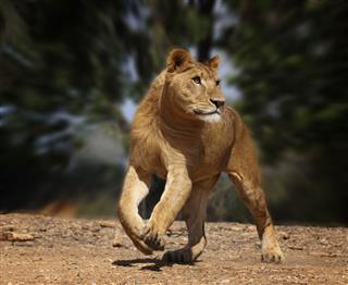 Running Lion Cub