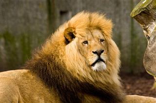 Male Lion
