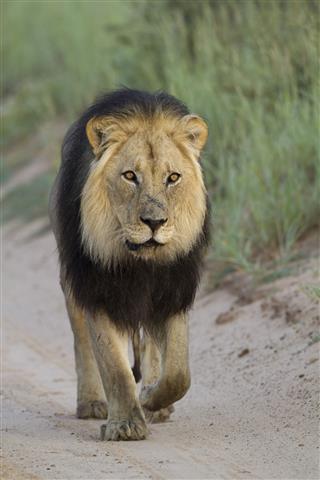 Loewe Panthera Leo Lion