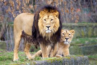 Lion Lioness