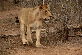 African Lioness Stalking Prey